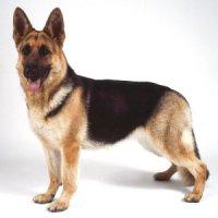 šuo - dog