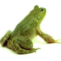 a green frog - žalia varlė